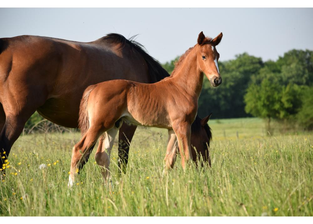 Foal  (Maloubet x Val de Saire)